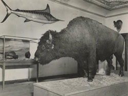 old photo of a buffalo in the dining room